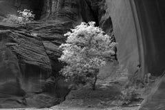 Árbol en una barranca del desierto Imagenes de archivo