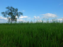 Árbol en una hierba Fotos de archivo