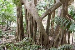 Árbol en Welchman Hall Gully en Barbados Isla del mar del Caribe Foto de archivo libre de regalías