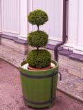Árbol enano figurado de la forma redonda en una tina cerca del invernadero i Foto de archivo libre de regalías