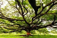 Árbol enorme de la vaina de mono Imagenes de archivo
