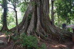 Árbol enorme en el parque nacional de Periyar, Thekkady, Kerala foto de archivo libre de regalías