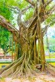 Árbol enorme viejo en el templo hermoso de la UNESCO de la literatura, Hanoi, Vietnam fotos de archivo libres de regalías