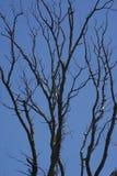 Árbol esquelético Foto de archivo libre de regalías