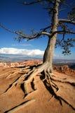 Árbol expuesto de las raíces en el borde de la barranca de Bryce Imagen de archivo libre de regalías