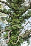 Árbol extraño cubierto con la hiedra Fotografía de archivo libre de regalías