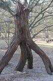 Árbol extraño y extraño en el bosque Fotos de archivo