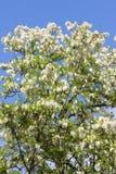 Árbol falso del acacia imagen de archivo