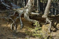 Árbol fantástico lleno de raíces en la montaña de Vitosha en el invierno Imagen de archivo