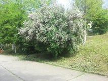 Árbol florecido Foto de archivo libre de regalías