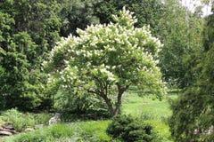 Árbol florecido blanco fotos de archivo libres de regalías