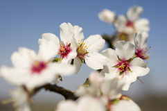 Árbol floreciente. Foto de archivo