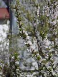 árbol floreciente fotografía de archivo libre de regalías