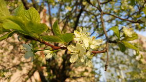 Árbol floreciente Imagen de archivo libre de regalías