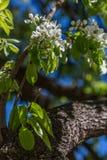 árbol floreciente Foto de archivo