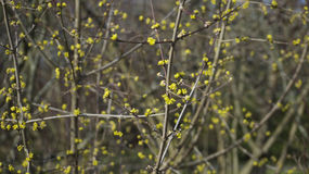 Árbol floreciente amarillo Fotografía de archivo