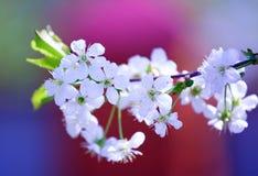 Árbol floreciente blanco (cereza) Foto de archivo