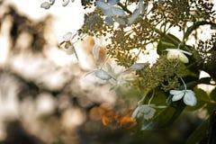 Árbol floreciente blanco en la puesta del sol Imagenes de archivo