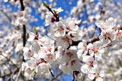 Árbol floreciente blanco hermoso Imágenes de archivo libres de regalías