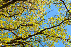 Árbol floreciente con el cielo azul Imagen de archivo