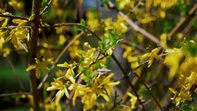 Árbol floreciente con las flores amarillas en la primavera almacen de video