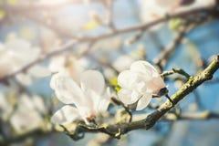 Árbol floreciente con las flores blancas Imagenes de archivo