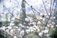 Árbol floreciente con las flores blancas viburnum Foto de archivo libre de regalías