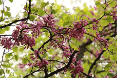 Árbol floreciente con las flores rosadas Fotos de archivo libres de regalías