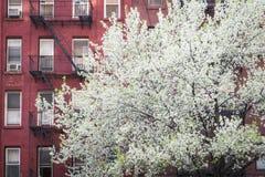 Árbol floreciente, construcción de viviendas, Manhattan, New York City Imágenes de archivo libres de regalías