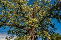 Árbol floreciente contra el cielo azul, zona rural del acacia imágenes de archivo libres de regalías