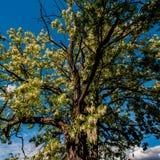 Árbol floreciente contra el cielo azul, zona rural del acacia imagenes de archivo