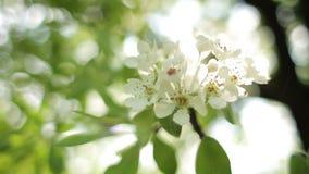 Árbol floreciente de la flor delicada metrajes