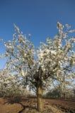 Árbol floreciente de la huerta de cereza amarga por puesta del sol Imágenes de archivo libres de regalías