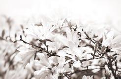 Árbol floreciente de la magnolia Imágenes de archivo libres de regalías