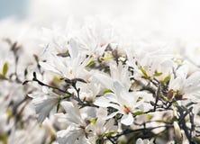 Árbol floreciente de la magnolia Foto de archivo libre de regalías