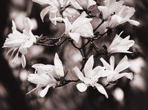 Árbol floreciente de la magnolia Fotografía de archivo libre de regalías