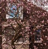 Árbol floreciente de la magnolia foto de archivo