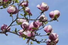 Árbol floreciente de la magnolia Imagen de archivo