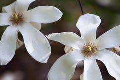 Árbol floreciente de la magnolia Fotos de archivo libres de regalías