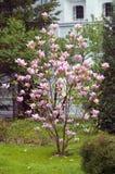 Árbol floreciente de la magnolia Imagenes de archivo