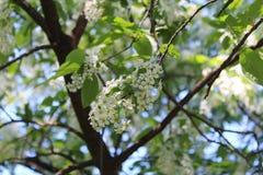 Árbol floreciente de la pájaro-cereza imagen de archivo