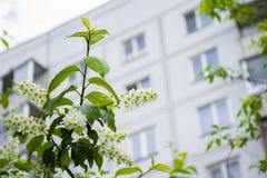 Árbol floreciente de la pájaro-cereza que florece en la ciudad imagen de archivo libre de regalías