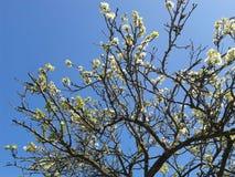 Árbol floreciente de la primavera Foto de archivo