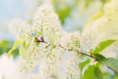 Árbol floreciente de la primavera Fotos de archivo libres de regalías