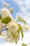 Árbol floreciente de la primavera Imagen de archivo libre de regalías