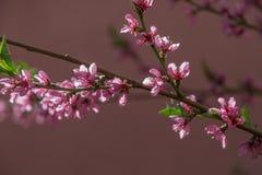 Árbol floreciente de la primavera Imágenes de archivo libres de regalías