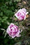 Árbol floreciente de las peonías Foto de archivo