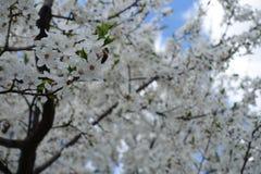 Árbol floreciente de polinización del domestica del Prunus de la abeja Fotos de archivo libres de regalías