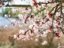 Árbol floreciente del albaricoquero en riverbank imagen de archivo libre de regalías