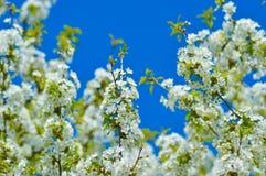 Árbol floreciente del resorte Fotos de archivo